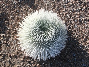 spiky Hawaaian thing